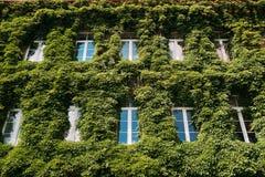 Parede Enlaced com Ivy In Summer Sunny Day Construção Enlaced com Fotografia de Stock
