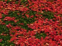 Parede Ivy-covered como o fundo Imagens de Stock Royalty Free