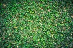 Parede natural verde do crescimento verde da hera na parede branca para a decoração de jardinagem Fotos de Stock