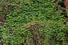 Parede overgrown com creeper Imagem de Stock Royalty Free