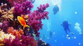 Parede subaquática com crescimento coral macio roxo do alcance, mergulhadores de mergulhador no fundo fotos de stock