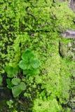 Parede velha coberta com o musgo Fotografia de Stock Royalty Free