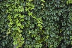 Parede verde Imagem de Stock Royalty Free
