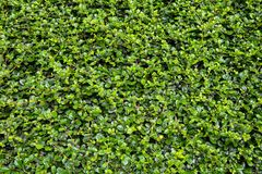 Parede verde Imagens de Stock Royalty Free