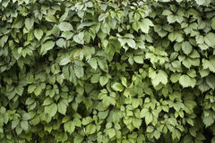 Parede verde da folha Fotografia de Stock Royalty Free