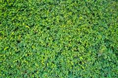 Parede verde de um jardim Foto de Stock Royalty Free