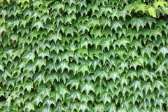 Parede verde lindo Imagem de Stock