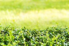 Parede verde natural Fotos de Stock