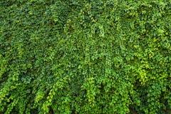 Parede verde, uvas de vime na parede imagens de stock