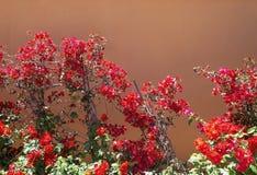 Parede vermelha do marrom da terracota das flores da buganvília foto de stock royalty free