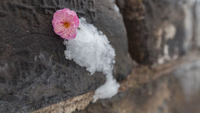 Paredes da neve e da ameixa Fotos de Stock