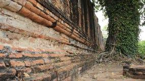 Paredes de ladrillos viejas con la planta del árbol y del remolque fotos de archivo