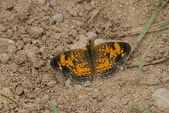 Parel Crescent Butterfly Stock Foto's