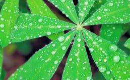 Parels van water op een lupineblad Royalty-vrije Stock Afbeelding