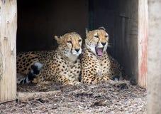 Paren av geparder Royaltyfria Foton