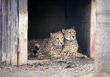 Paren av geparder Royaltyfri Bild