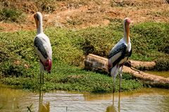 Paren die van geschilderde ooievaarsvogel bekijken zich op regelmatig bij modderig water voor dicht vissen de bevinden stock afbeeldingen
