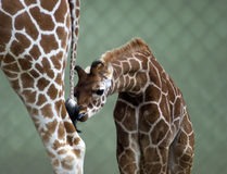Parent and baby giraffe. Baby giraffe stood next to legs of parent with fence in background and copy space royalty free stock photos
