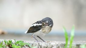 Parent bird try to feeding the offspring. Parent bird is giving the insects as food for a young injured oriental magpie-robin, but it's missing stock video