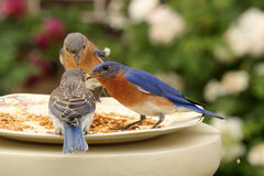 Parent Bluebirds and Fledgling Royalty Free Stock Image