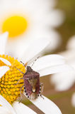 Parent Bug. (Elasmucha Grisea) also called Motherly Shield Bug on the white-yellow flowers Royalty Free Stock Images