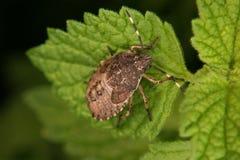 Parent bug (Elasmucha grisea) Stock Image