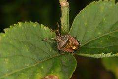 Parent bug (Elasmucha grisea) Royalty Free Stock Photo