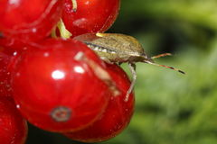 Parent bug on the red currants Stock Image