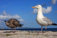 Parent and chick seagulls Stock Photos