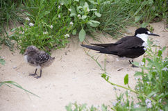 Parent and chick, sooty tern, Lord Howe Island. A parent sooty tern and their chick, at Blinky Beach, Lord Howe Island, New South Wales, Australia Stock Photos