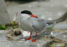 Parent and Child. Parent Common Tern with fluffy, cute young chick Royalty Free Stock Images