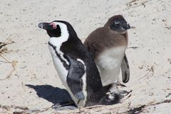Adult and Juvenile African Penguins. Parent and child Jackass penguins on Boulders Beach, South Africa Stock Photos