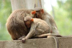 Parent and Child monkey sitting on Wall. Monkey family sitting on wall and sleeping together in bannargetta national zoo, banglore india Royalty Free Stock Image