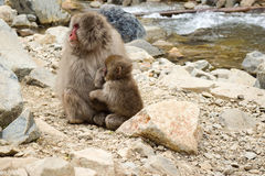 Parent and child snow monkey in Jigokudani Yaen-Koen, Japan. Affection between family members being shown Stock Image