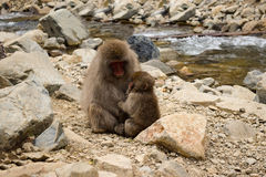 Parent and child snow monkey in Jigokudani Yaen-Koen, Japan. Affection between family members being shown Stock Photos