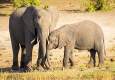 Parent d'éléphant avec le veau Images stock