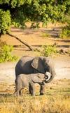 Parent d'éléphant avec le veau Image libre de droits