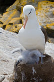 Parent d'albatros avec le poussin Photo stock