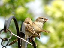 Baby sparrow. A parent feeding its baby sparrow Royalty Free Stock Images