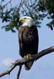 Parent fier 1 d'aigle chauve Image stock