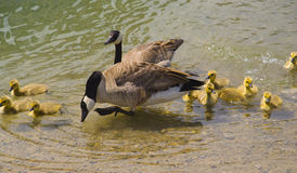 Parent Geese and baby gooslings swimming in pond Stock Photography