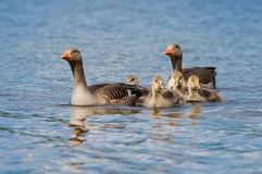 Parent Greylag Geese With Goslings. Parent greylag geese carefully guard their four goslings across blue water Royalty Free Stock Photography