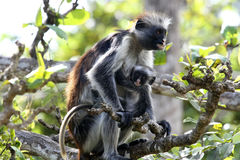 Parent and kid of monkey. Parent of monkey (red colobus) is holding baby on the trees in Zanzibar island of Tanzania, Africa Royalty Free Stock Images