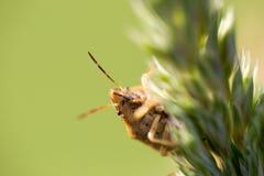Parent le grisea d'Elasmucha d'insecte, protégez l'insecte, l'insecte de puanteur, famille de photographie stock libre de droits