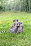 Parent Lemur Royalty Free Stock Photos