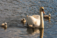 Parent Mute Swan with young birds Stock Photo