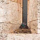 Parent pigeon sitting on nest Royalty Free Stock Photo