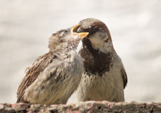 Parent sparrow feeds Royalty Free Stock Photo