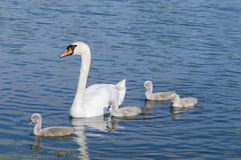 Parent swan with offspring. Parent swan with young chicks on a pond Royalty Free Stock Photos