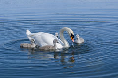Parent swan with offspring Stock Photography